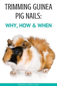 Guinea pigs nails require regular nail trimming because, as the nails grow, they tend to curl which impairs our cavy's ability to walk. Find out more about how to cut and trim guinea pig nails with our guinea pig nail trimming guide! Guinea Pig Food, Baby Guinea Pigs, Guinea Pig Care, Pet Pigs, Pig Nails, Guinnea Pig, Tortoise As Pets, Guinea Pig Bedding, Akita Dog