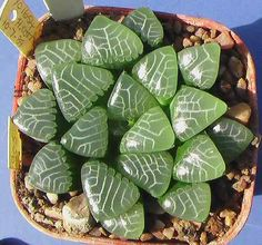 Haworthia, variety unknown, but I love the pattern on the end of its leaves