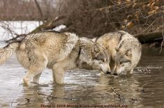 Wolf Photographs Gallery 1