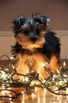Harley Jane, My Yorkie Puppy, Christmas Lights