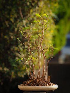 姫沙羅です。 ようやく植え替えできました。  This is Stewartia monadelpha.  It has transplanted at last. BINSAI