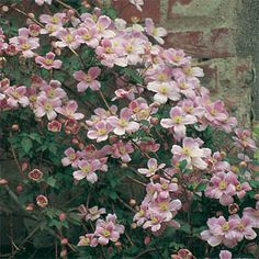 "Clematis montana ""Pink Perfection"" Flowers with strong vanilla scent"