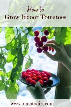 How to grow indoor tomatoes with Tomato Dirt #TomatoGrowingTips