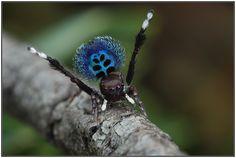 Maratus nigromaculatus  (peacock spider).