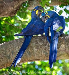 Bjorn Olesen:  I observed this pair early in the morning when they announced their arrival with a raucous roar, which was certainly the highlight of the day. As here, I saw many times that macaw pairs mutually preen each other, and unlike humans most macaws mate for life!