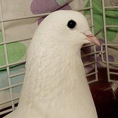 Adopt Princess (Epi), a lovely 5 years  7 months Other Pet available for adoption at Petango.com.  Princess (Epi) is a Pigeon and is available at the @LollypopFarm in Fairport, NY