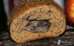 Ratten, Schlafen, Brot