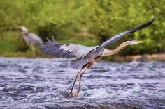 """""""The Heron Highway"""" (Rappahannock River in Fredericksburg) by Fritzi Newton, featured in the Richmond Times-Dispatch on October 16, 2016. FUN FACT: This is a 2016 Virginia Vistas Photo Contest Honorable Mention winner in our Vistas with Wildlife Category. ENJOY!! #VirginiaVistas"""