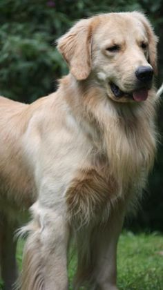 """Golden Retriever - Our Molly thought  her job was the """"greeter"""".  She should have worked at Walmart."""