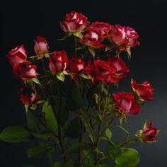 Tiramisu #RosesColombia #RedilRoses #ColombianFlowers #Roses #BlomFlores #Regalos