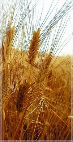 Ancient grains of Abruzzo, Italy. Ancient grains are virtually unchanged from what they were thousands of years ago. They are free of hybridisation and genetic modification and have a higher nutritional value than modern wheat. They are a simpler, purer food, just as nature designed. Via Kokopelli