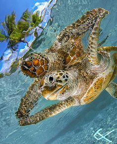 ~ Life Under The Sea - Beautiful Underwater Sea Creatures ~ Ocean Turtle, Turtle Love, Sea Turtles, Turtle Bay, Turtle Swimming, Baby Turtles, Underwater Animals, Underwater Sea, Underwater Creatures