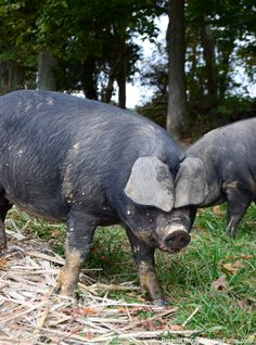 Woodlot-raised pigs produce meat with unique flavor and help keep the woodland ecosystem in check.