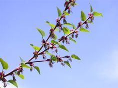 Cercidiphyllaceae Cercidiphyllum japonicum