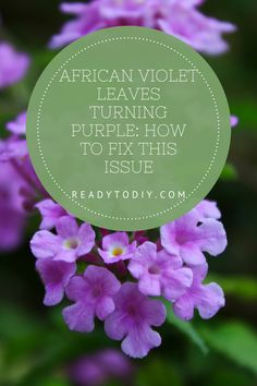 African Violet Leaves Turning Purple: How to Fix This Issue Flower Gardening, Indoor Gardening, Container Gardening, Gardening Tips, Indoor Plants, Planting Vegetables, Vegetable Gardening, Growing Vegetables, Plant Lighting