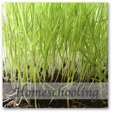Growing wheatgrass indoors - easy project for kids. Also tips on how to harvest and use the wheatgrass. countrymamacooks