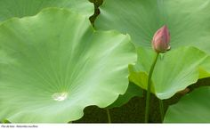 Flor de loto - Nelumbo nucifera