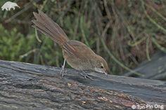 Eastern bristle bird