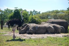 Ostrich, White Rhino http://www.facebook.com/williamgriswoldphotography/