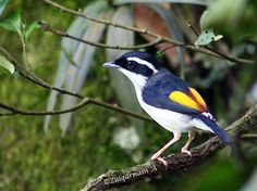 Blyth's Shrike-babbler () formerly White-browed Shrike Babbler