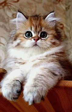 These cute kittens will warm your heart. Cats are incredible companions. Fluffy Kittens, Cute Cats And Dogs, Cute Cats And Kittens, Baby Cats, Kittens Cutest, Fluffy Pets, Persian Kittens, Pretty Cats, Beautiful Cats