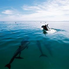 Porpoises off Isla Coronado, in Loreto Bay Marine Park