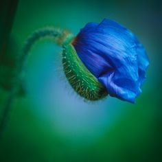 pavot bleu bouton Nature Plants, Flowers Nature, Exotic Flowers, Amazing Flowers, Blue Flowers, Poppy Drawing, Blue Poppy, Macro Flower, Peonies Garden