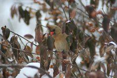 Winter Cardinal...lovely