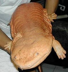 The Chinese giant salamander (Andrias davidianas) is the world's largest amphibian, growing to lengths of up to 6 feet. It used to be common throughout central, southwestern and southern China, where it lives in streams in the forested hills and lays up to 500 eggs at a time in underwater burrows guarded by the male. However, the Chinese giant salamander has now almost completely disappeared due to its over-exploitation as a food source.