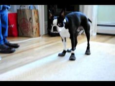 Bob's new boots - Zoey has these too! Walks the same way in them, hilarious! Cute Animal Pictures, Funny Pictures, Funny Animals, Cute Animals, Dog Videos, Boston Terriers, Moving Pictures, Mans Best Friend, Dog Love