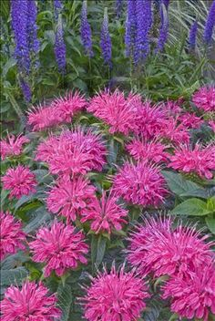 Monarda didyma 'Pardon My Pink'. Bee balm - attracts helpful insects, makes delicious tea, has a minty fragrance.