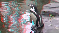 Funny birds penguins who very fast swimming underwater anaglyph Full HD You can send your donate for develop of channel on 3d Video, Funny Birds, Penguins, Underwater, Animals, Animales, Animaux, Under The Water, Penguin