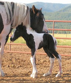 Sapphire at 1 hr old. Big Sky Gypsy and Drum Horses, Gypsy Vanner, Gypsy Horses, Gypsy Cob, Drum Horse, Gypsy Vanner Stallion, Homozygous Stallion, Montana, Seeley Lake