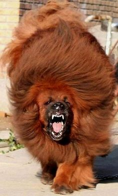 Tibetan Mastiff Dog.. ! Did you know that Tibetan Mastiffs have exceptionally strong teeth and jaws, and this, combined with a remarkably high intelligence (that lends to boredom) and their legendary fondness for wood, can result in amazing destructive acts to your house.