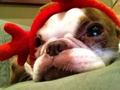 My red Boston Terrier, Mary