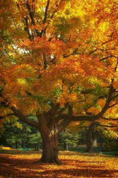 Fall ~ Oak