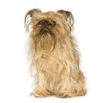 Брюссельский грифон декоративная собака