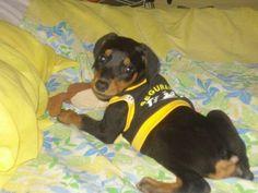 Adorable ♥ Doberman Puppies, Doberman Love, Doberman Pinscher, Lisa Hall, Min Pins, Kinds Of Dogs, Service Dogs, Dobby, Big Dogs
