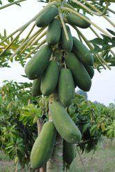 Seedsdirect's genuine Papaya Seeds for Plant Thai Fruit Sweet Kakdam Species From Thaialnd Seeds/pack Papaya Tree, Good Source Of Fiber, Growing Tree, Planting Seeds, Season Colors, Live Plants, Cactus Plants, Lawn, Plastic Foil