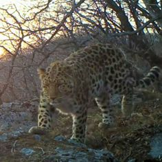 Call of World's Rarest Big Cat Recorded in Wild For First Time
