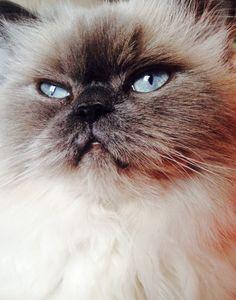 My cat, Alice... Blue point hymalayan cat
