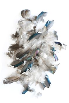 mallard feathers | STILL (mary johoffman)
