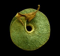 Medicago Arborea by Rob Kesseler - Tree medick, seed. 2013. Hand coloured micrograph