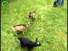 Goats gone crazy