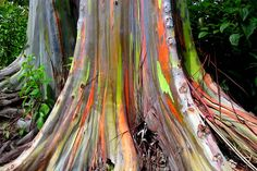 Eucalyptus deglupta is a tall tree, commonly known as the Rainbow Eucalyptus, the Mindanao Gum, or the Rainbow Gum. It is the only Eucalyptus species found naturally in the Northern Hemisphere. Its natural distribution spans New Britain, New Guine. L Eucalyptus, Eucalyptus Flooring, Eucalyptus Species, Rainbow Eucalyptus Tree, Es Der Clown, Photo Images, Bing Images, Colorful Trees, Climbing Roses