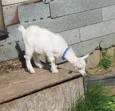 Nigerian Dwarf Dairy Goats - for people who love the littlest dairy goats