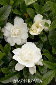 """First Love""® Gardenia (Grafted)/Monrovia. This evergreen shrub has large fragrant blooms that are disease and pest resistant tolerating poor soils better than other varieties."