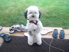 Coton de Tulear: May I come in please? - YouTube