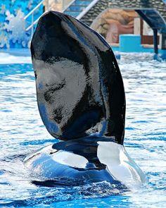 Look at that pec! Orcas In Captivity, Seaworld Orlando, Cute Whales, Ocean Creatures, Killer Whales, Italian Greyhound, Sea World, Shiba Inu, Australian Shepherd