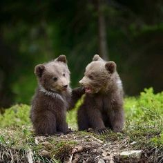 Two Little Baby Brown Bears in the Woods